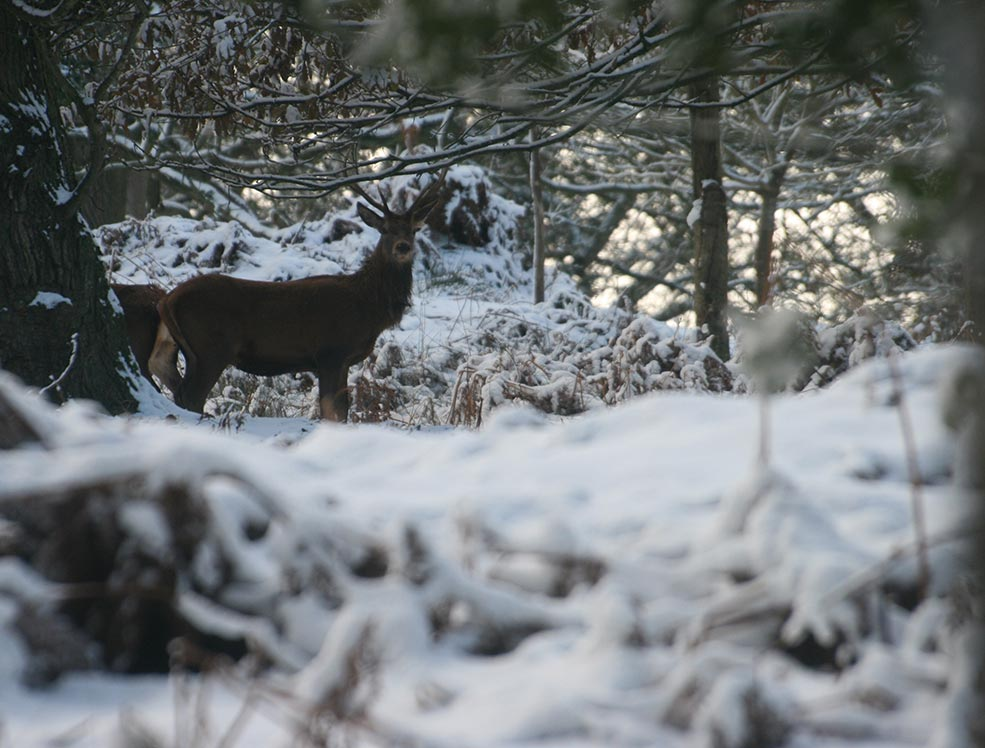A deer in the winter snow.