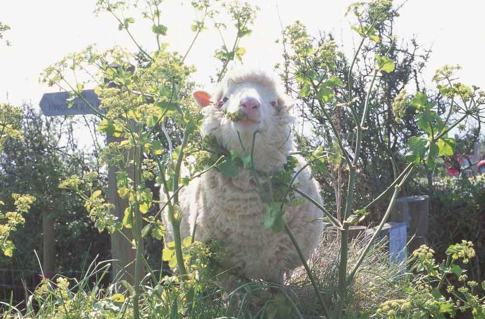 Big Sheep at Easter