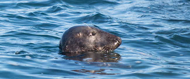 Seal sighting from the Cormorant