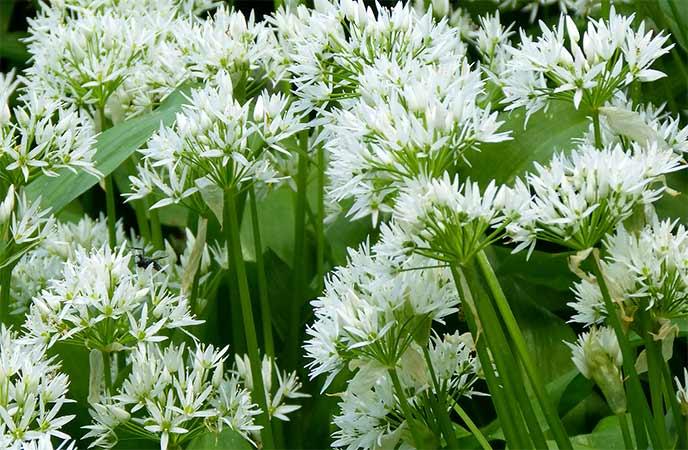 Wild Garlic in Cornwall