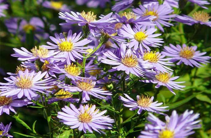 Sea Aster Flowers in Cornwall