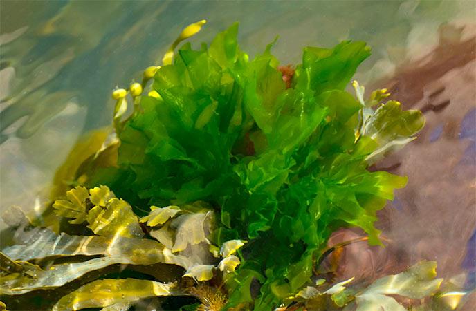 Sea Lettuce in Cornwall
