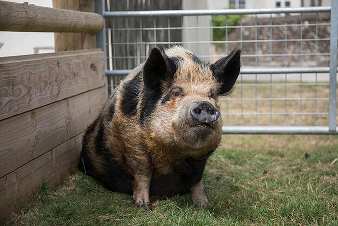 Cherryblossom's Kunekune pigs are called Charles and Camilla!