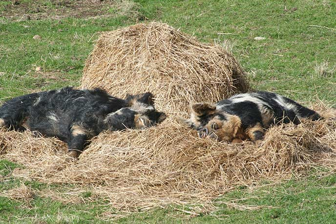 The two pigs at Cardinham Farm love taking a nap in the sunshine.