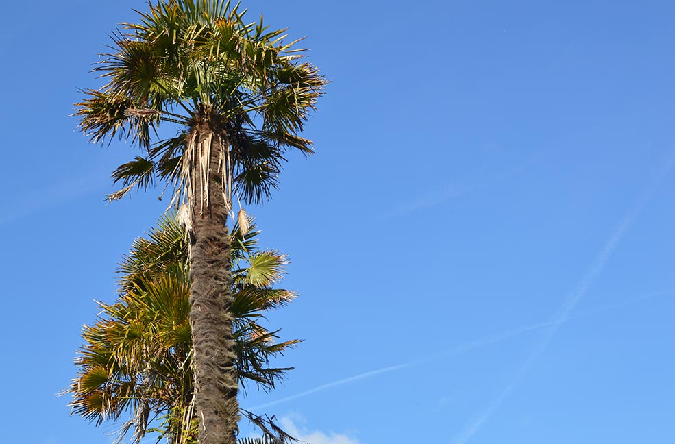 Palm trees at Penrose in Cornwall