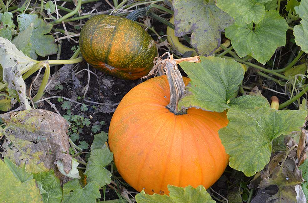 Pumpkins at Penrose in Cornwall