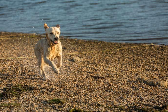 Dogs love going for long coastal walks