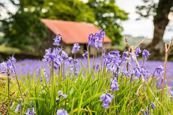 Top 10 bluebell woods to visit in Cornwall in spring