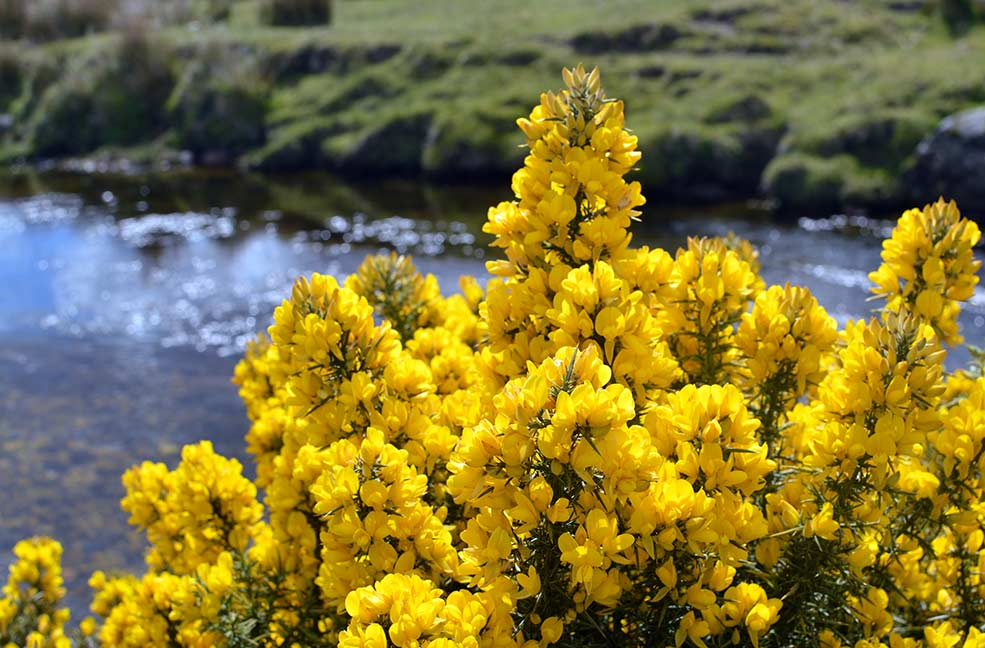 Gorse blossoming on the moors in Dartmoor.