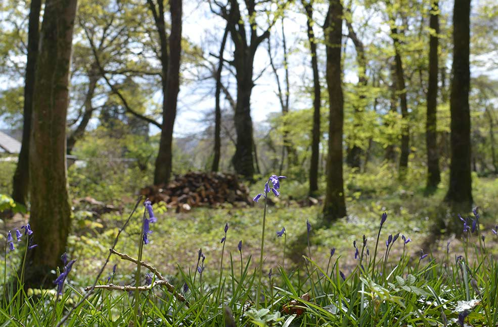 Bluebells in the sunshine near Yelverton.