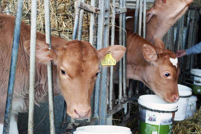 Briddlesford calves