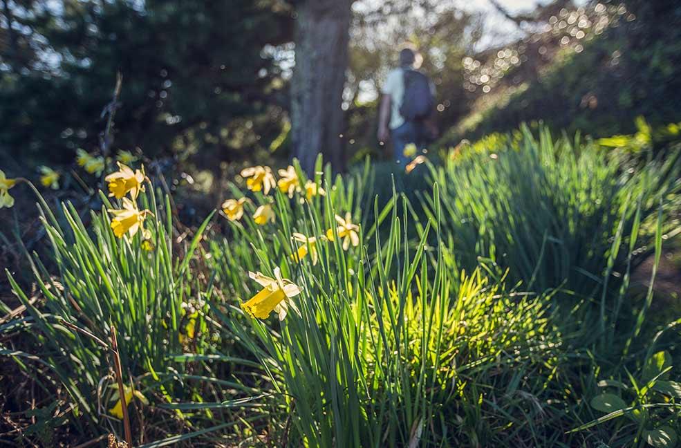 Daffodils glow in the spring sunshine in Cornwall.