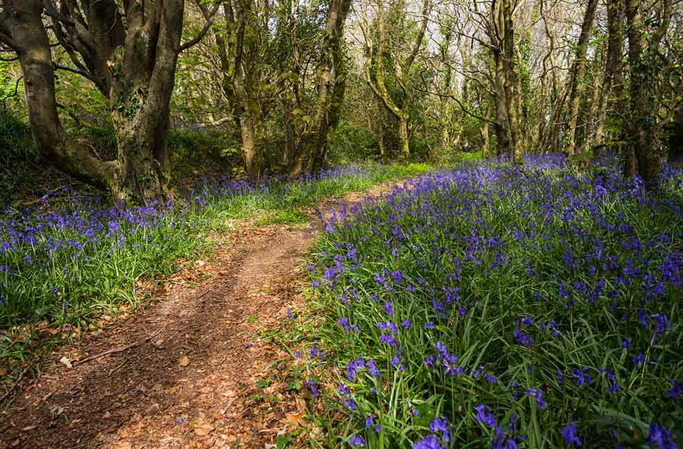 The gorgeous spring bluebells fill the woodlands of Cornwall.