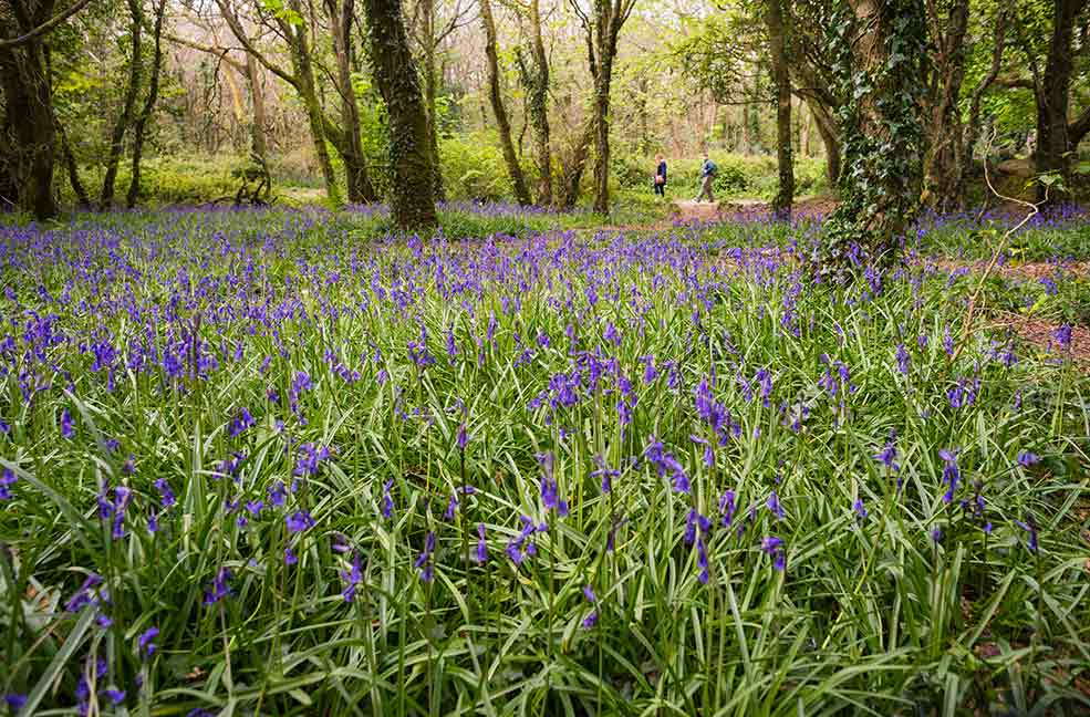 See the bluebell carpets with spring visits to gardens in Cornwall.