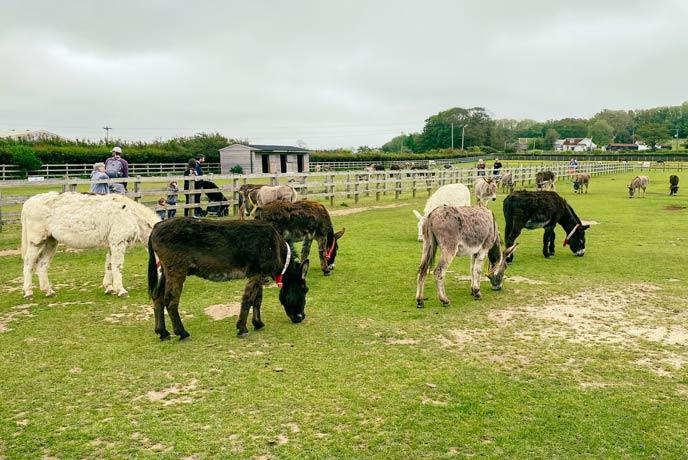 The donkeys at the Donkey Sanctuary having a graze