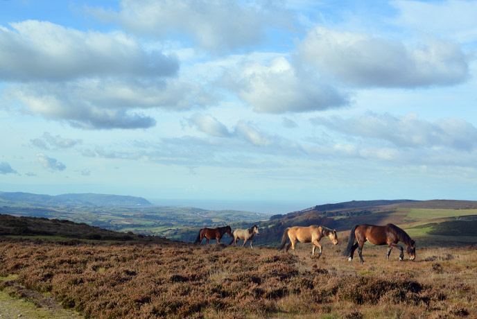 Join the wild ponies as you explore the heart of the Quantock hills in Somerset.