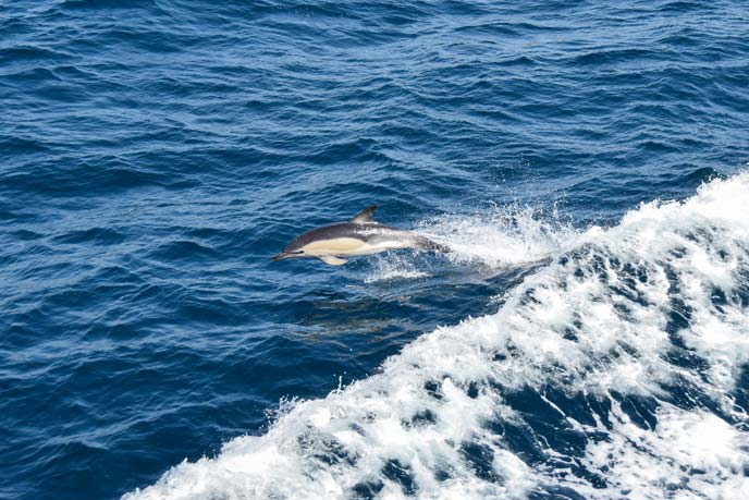 Dolphins having fun next to the Scillonian III