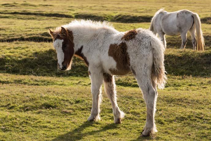 Shetland ponies, Godrevy