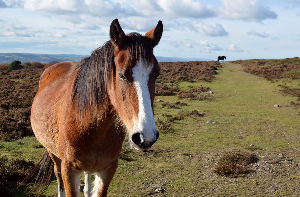 Making new friends in the wild ponies of the Quantocks.