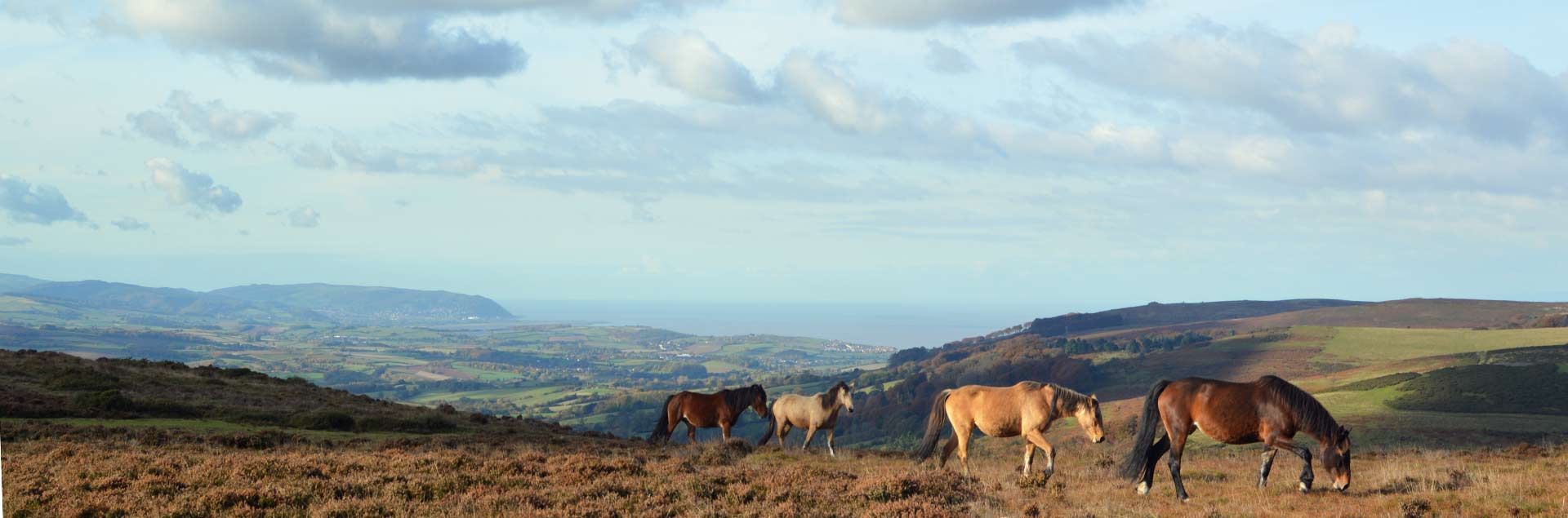Wild ponies on the Quantocks in Somerset, looking over to Minehead and the edge of Exmoor.