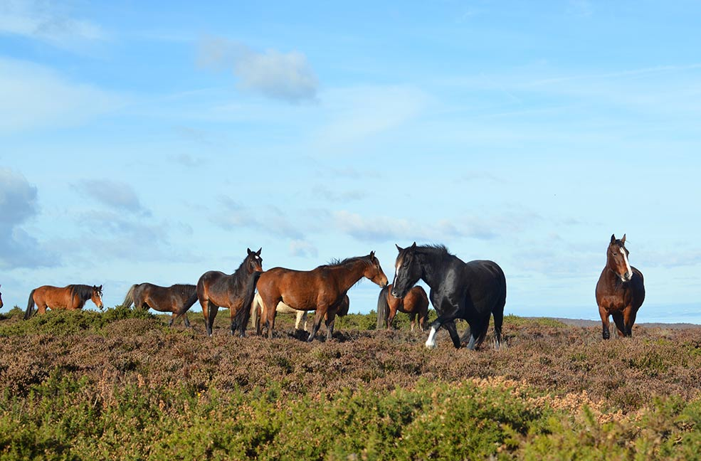 Groups of wild ponies roam the Quantock hills.