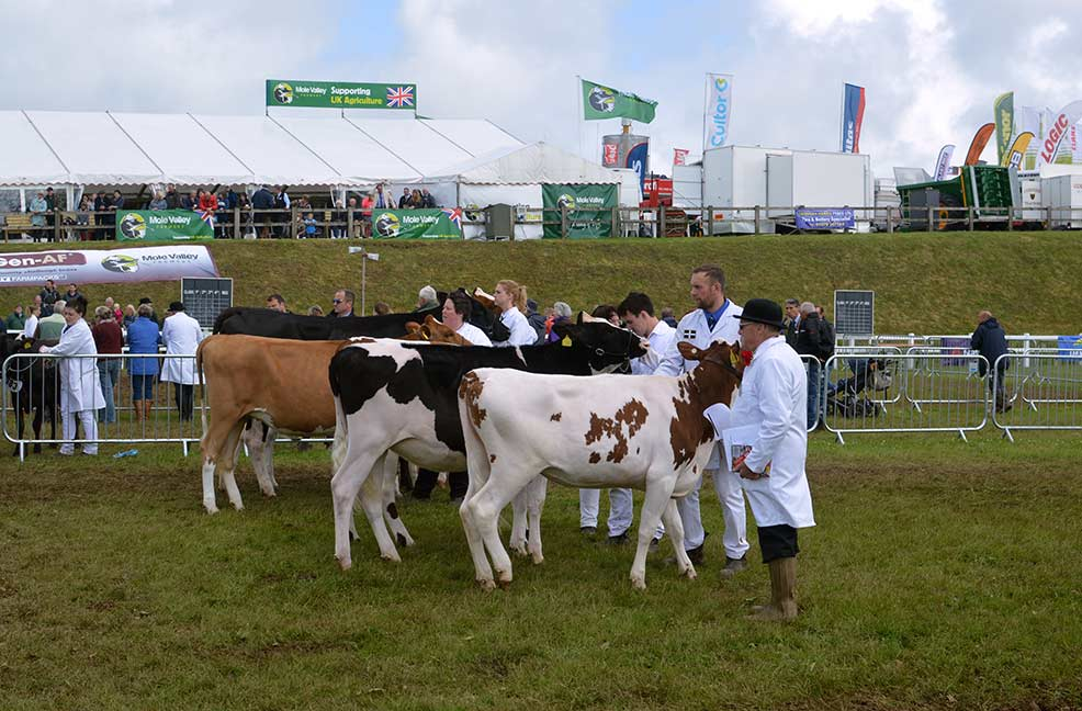 Cows being shown at the Royal Cornwall Show.