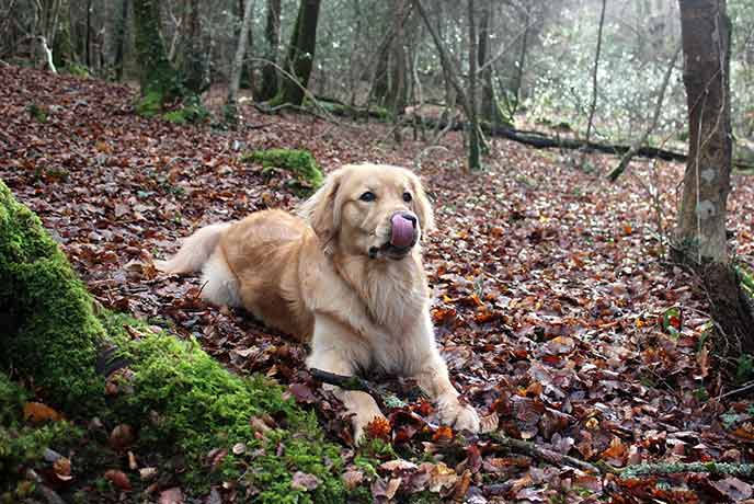 Monty enjoying the autumn leaves in Ethy Woods, Cornwall.