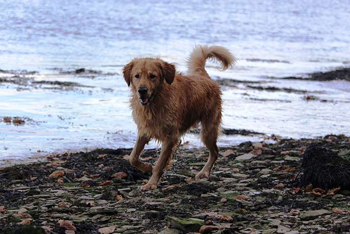 Monty loves a dip in the river on the Restronguet Creek walk.