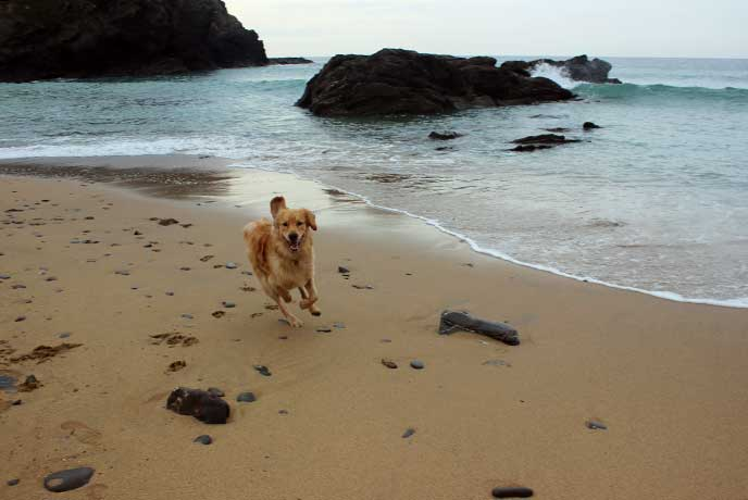 Dogs love the beach so come when the ban is lifted and take your pick of Cornish beaches.