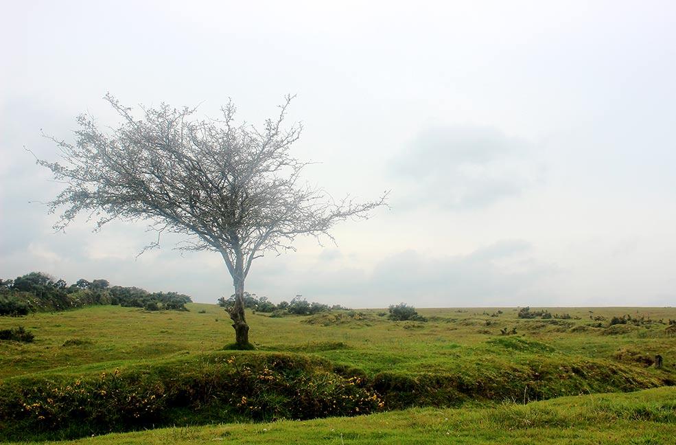 Bodmin Moor tree