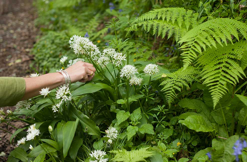 An American in Cornwall: Wild garlic foraging in Falmouth