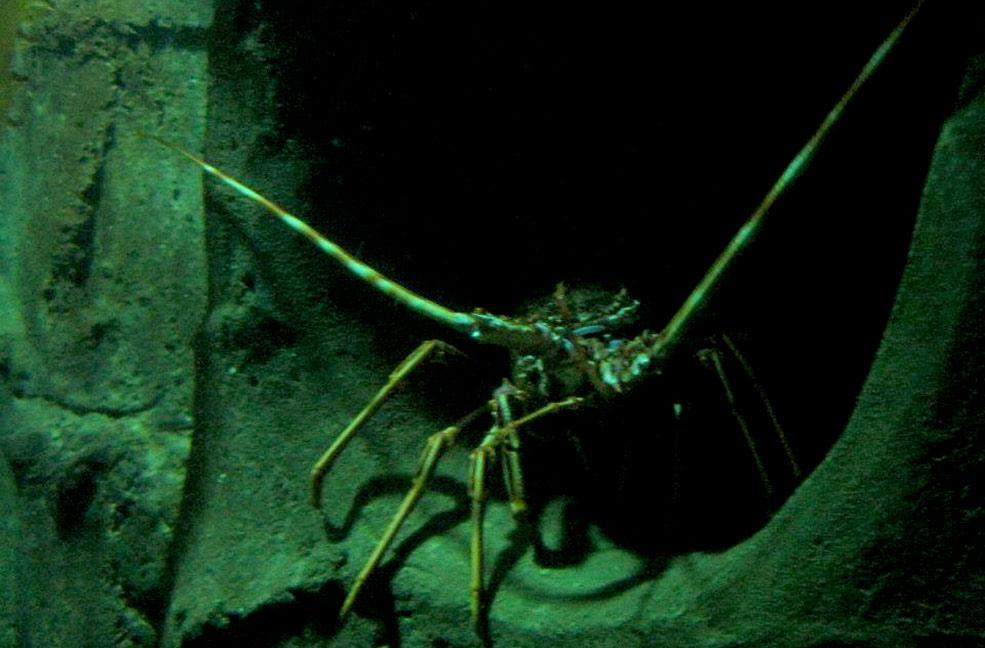 Lobster at Bournemouth Oceanarium
