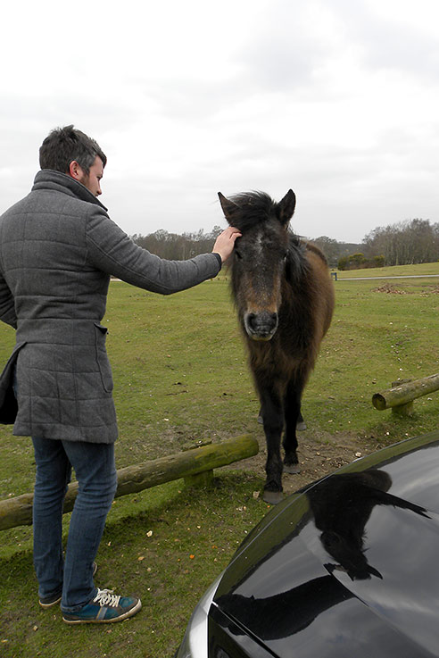 Friendly New Forest pony