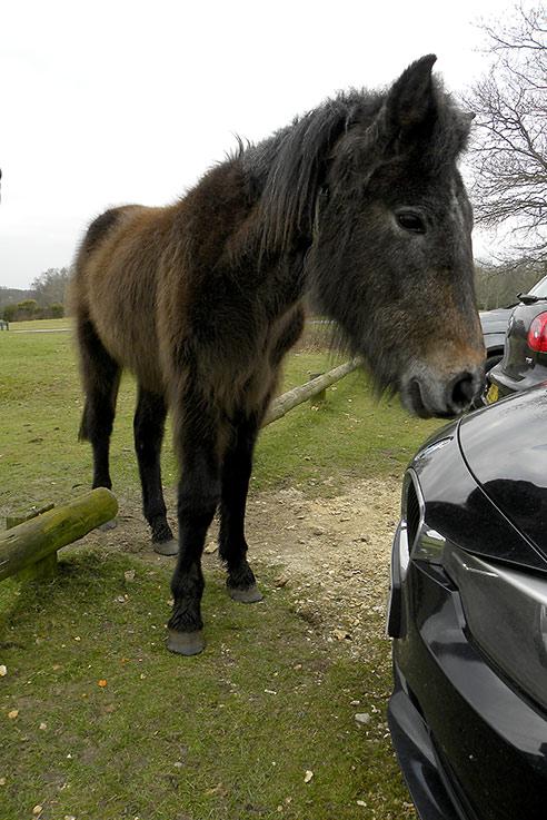Nosy New Forest pony