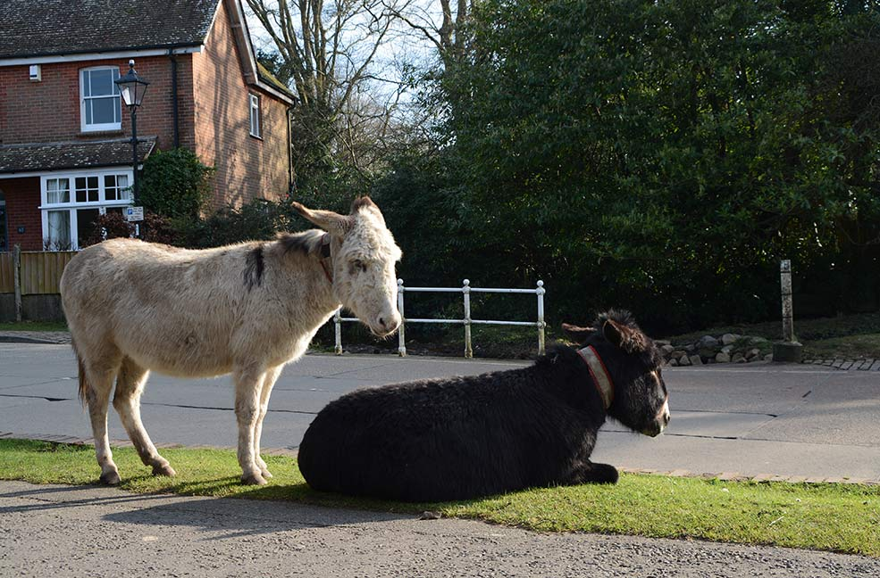 New Forest donkeys in Brokenhurst