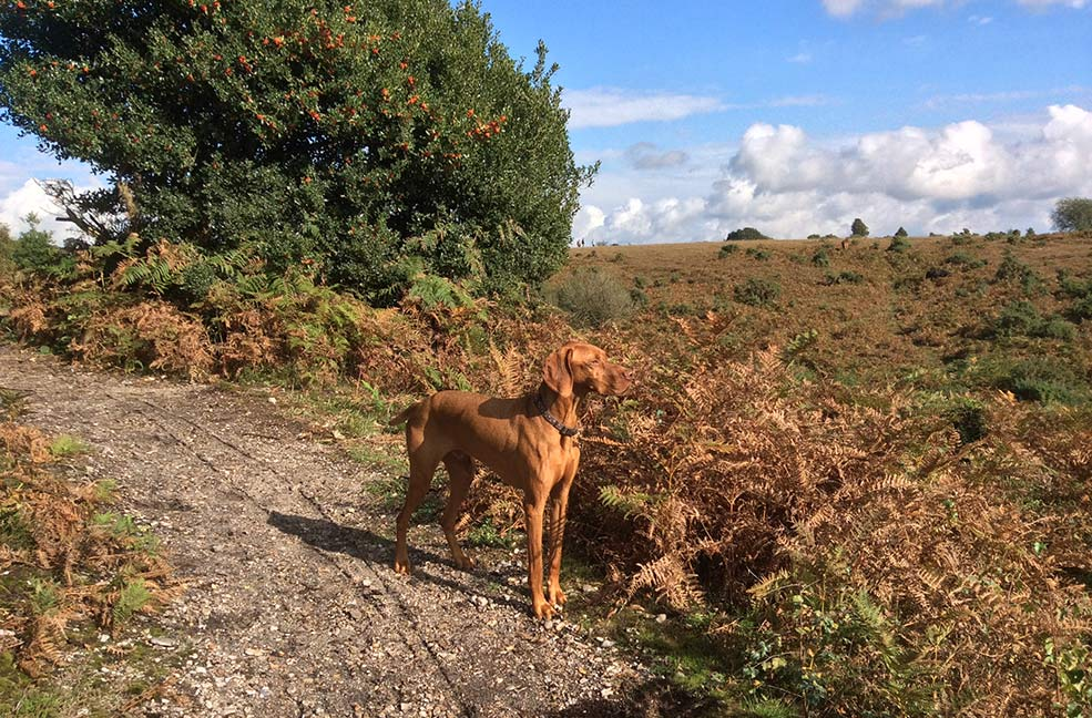 New Forest dog walking