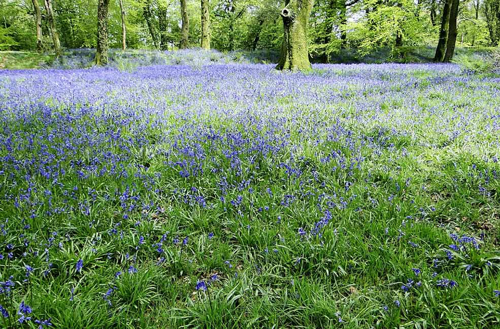 Bluebells at Blackberry wood
