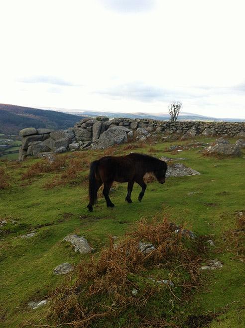 Dartmoor ponies roam and graze