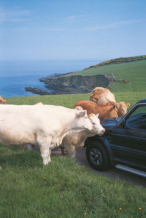 Friendly cows