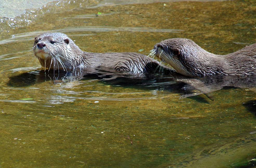 Buckfast Otters