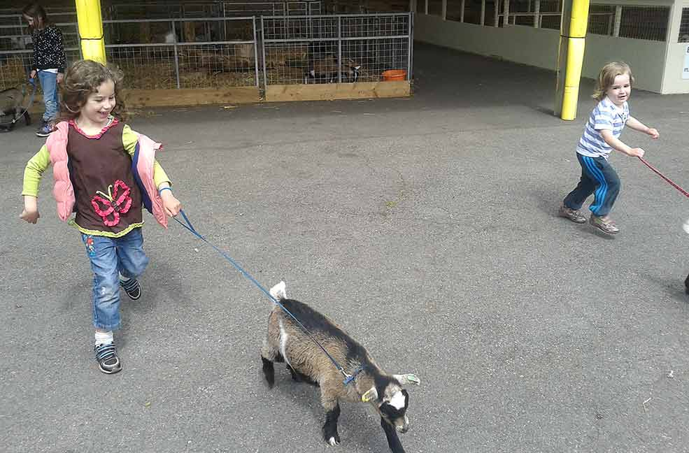 Goat walking in Exmouth