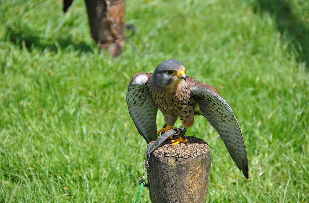 Mount Edgcumbe falconry